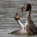 Great Crested Grebe, courtship. by padlock