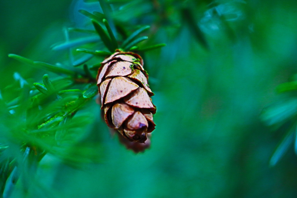 Baby Pine Cone by phil_sandford