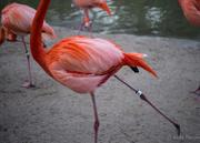 19th Feb 2017 - Flamingo Ballet