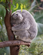 17th Feb 2017 - Napping Koala