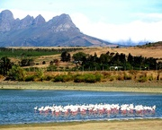 23rd Feb 2017 - Flamingoes looking for food