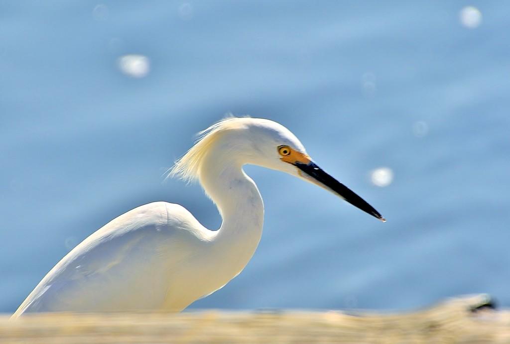 elegant egret by lynnz