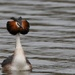 Male Great Crested Grebe by padlock
