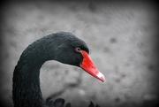 23rd Feb 2017 - Black swan