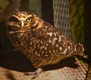 22nd Feb 2017 - Burrowing Owl Giving Me The Stink Eye