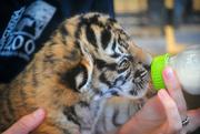 24th Feb 2017 - Bottle Feeding Baby Bengals