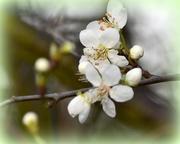 24th Feb 2017 - Plum blossom