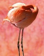 24th Feb 2017 -  If I Can't See You, You're Not There..................Happy Flamingo Friday!