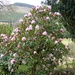 Rhododendron in February!! by susiemc