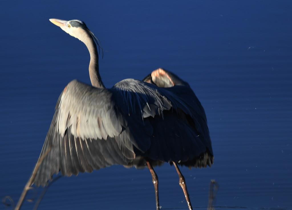 Great Blue Heron by kareenking