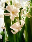 21st Feb 2017 - Hyacinths ...