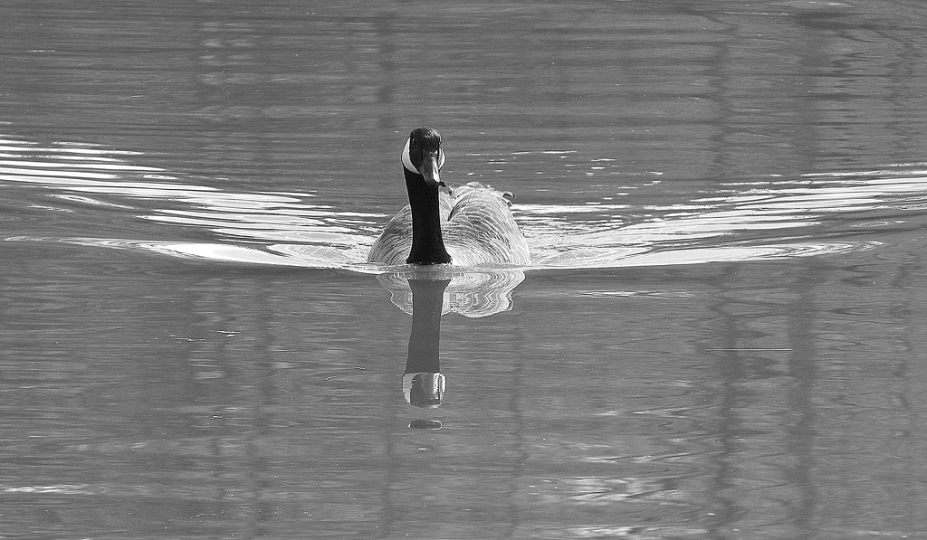 Goose in black and white by homeschoolmom