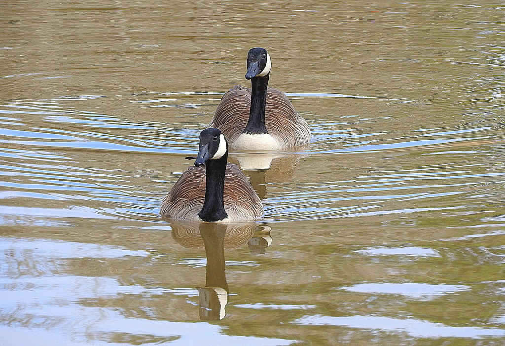 Two geese in a row by homeschoolmom