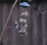25th Feb 2017 - Long tailed tit