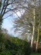 23rd Feb 2017 - Silver birch trees ...