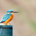 Kingfisher male. Likes the new post by padlock