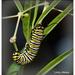 Monach caterpillar... by julzmaioro