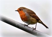 27th Feb 2017 - Robin redbreast