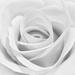 White Rose by rjb71