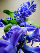 22nd Feb 2017 - Blue Hyacinths ....