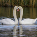 TWO SWANS by tonygig