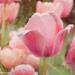 Tulip Impressions by lynne5477