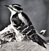 28th Feb 2017 - Hairy Woodpecker