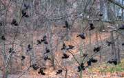 28th Feb 2017 - A lot of Red-winged Blackbirds