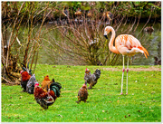 """1st Mar 2017 - """"OK, You Guys,What's All This Crowing About?"""""""
