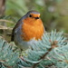 ROBIN IN A CONIFER  by markp
