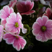 PLAY March - Fuji 60mm f/2.4: Pink Flowers by vignouse