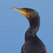 Portrait of a black shag (cormorant) by maureenpp
