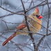 Cold Snowy Evening & Female Cardinal by dridsdale