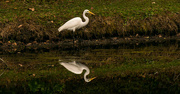 2nd Mar 2017 - Egret and Reflection!
