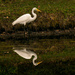 Egret and Reflection! by rickster549