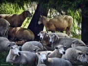 3rd Mar 2017 - Mob or Flock