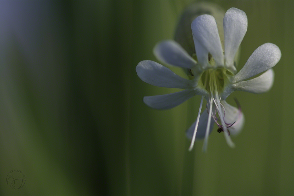 Silene vulgaris...bladder campion...maidenstears...στρουθούθκια... by evalieutionspics