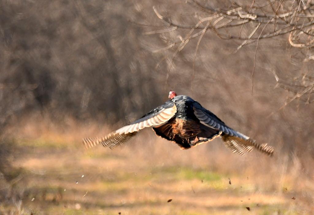 Turkey in Flight by kareenking