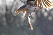 2nd Mar 2017 - Hawk in Flight