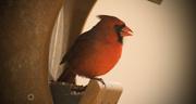 4th Mar 2017 - Cardinal Munching Out!