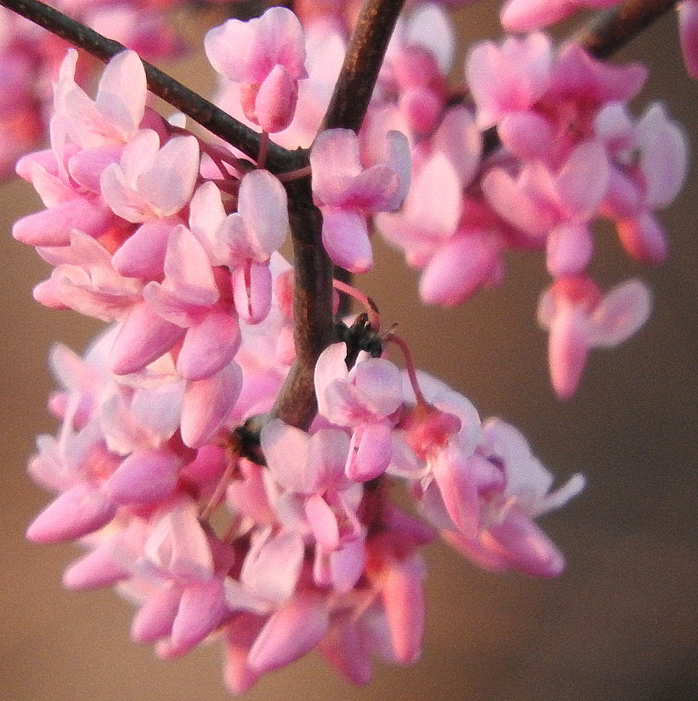 Pink blossoms! by homeschoolmom