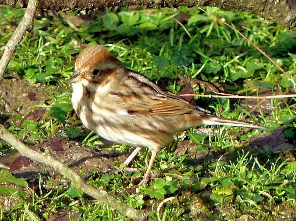 Reed Bunting (Female)  by susiemc