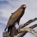 Harris's hawk by ksmale