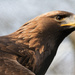 Golden Eagle by leonbuys83