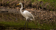 5th Mar 2017 - Another Egret!
