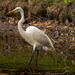 Another Egret! by rickster549