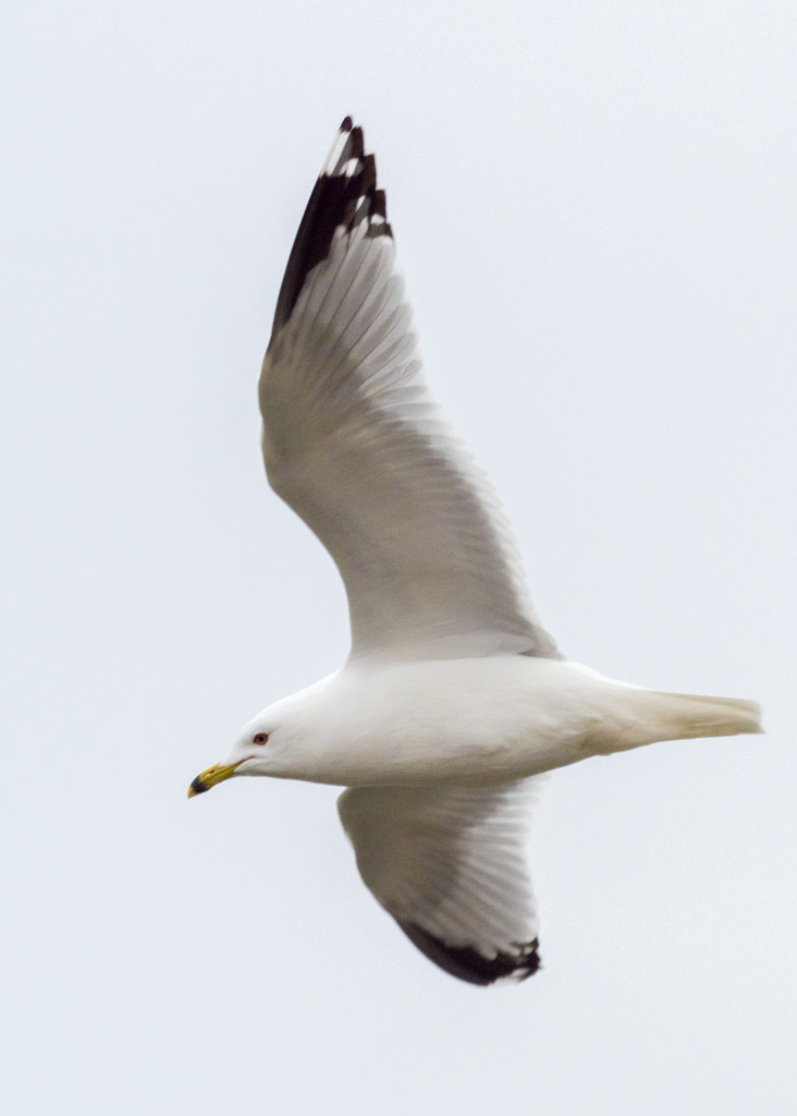 Ring-Billed Gull Portrait by rminer