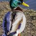 Duck by tonygig
