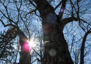 6th Mar 2017 - Tree with sun flare