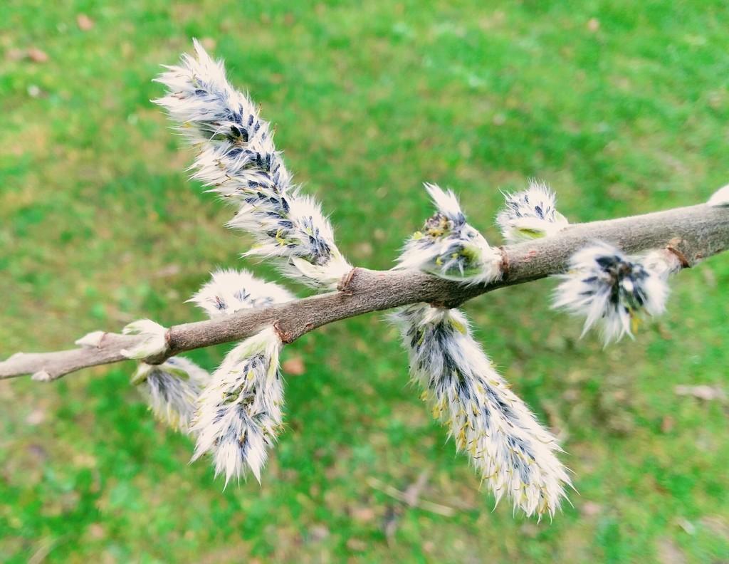 Pussy willow by jmdspeedy